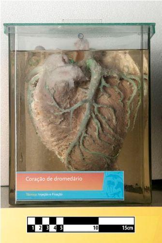 Dromedary Camel Heart