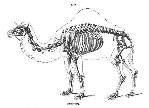 Dromedary Camels Skeleton