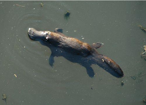 Duck Billed Platypus Pic