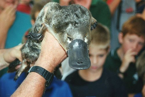 Duck Billed Platypus in Geelong