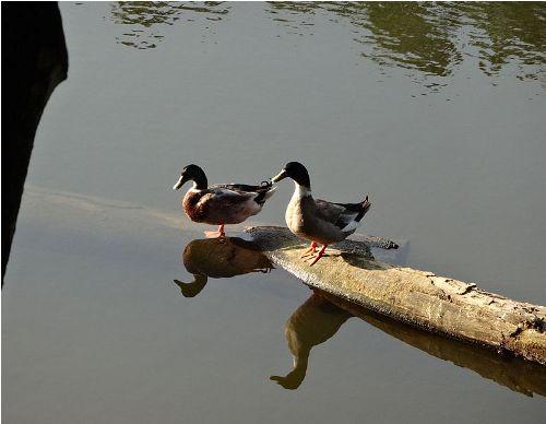 Ducks in Ponds