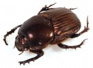 10 Facts about Dung Beetles
