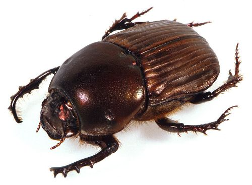 Dung Beetles Images