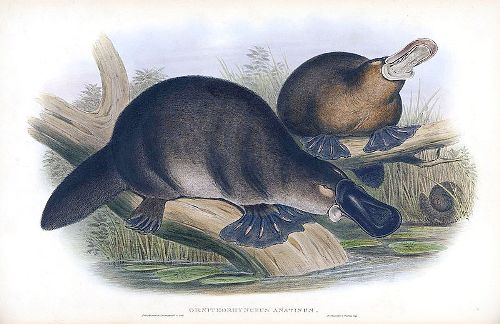 Facts about Duck Billed Platypus