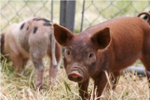 duroc pig image