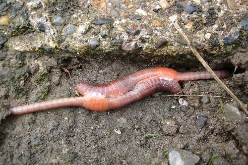 Earthworm Mating