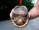 10 Facts about Eastern Box Turtle