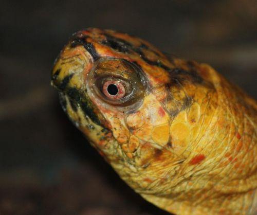 Eastern Box Turtle Image