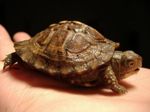 Eastern Box Turtle Pic