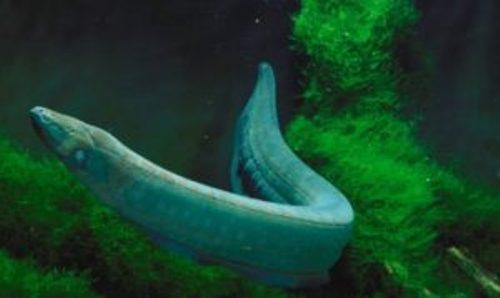 Electric Eels Image