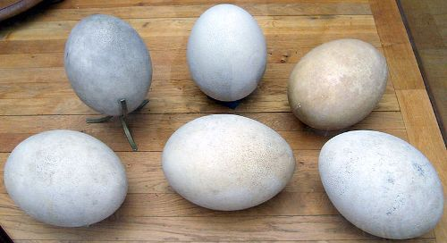 Elephant Birds Eggs