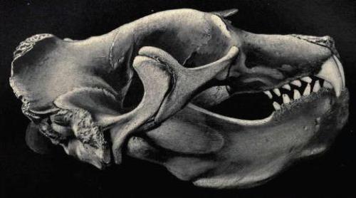 Elephant Seals Skull