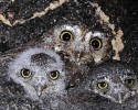 10 Facts about Elf Owls
