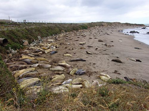 Facts about Elephant Seals
