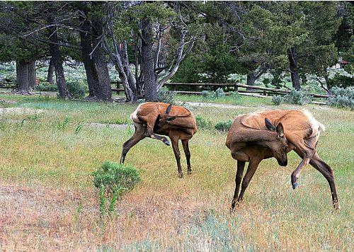 Elk Pic